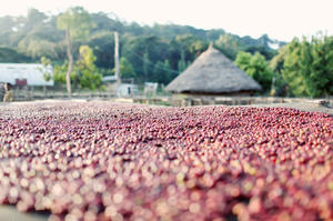 Johan & Nyström - Ethiopia Welena Organic Plantation - Ljusrostade kaffebönor - 250g