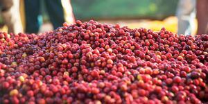 Gringo Nordic - Etiopien Guji Organic - Ljusrostade kaffebönor - 250g